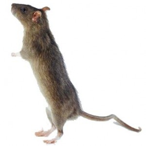 Pest Control UK - Rat